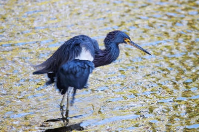 Blue little heron